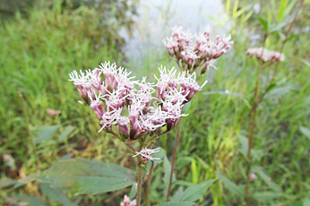Thoroughwort (Eupatorium japonicum Thunb)