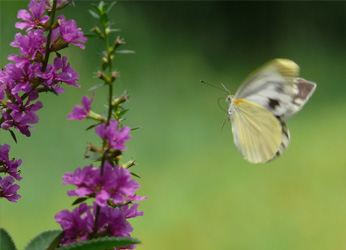 Asian Green-veined White on spiked loosestrife.